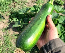 Zucchini: The Awesome Summer Squash
